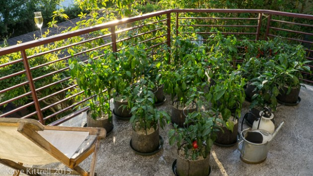 My Slide of Pepper Heaven - pepper plants