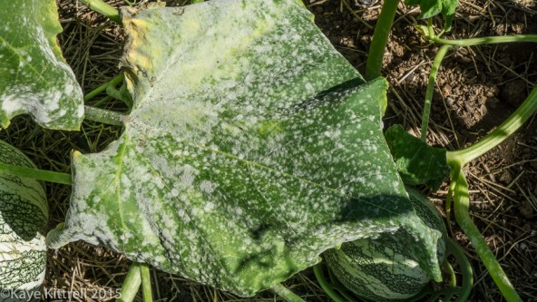 Pshaw, Cushaw! - powdery mildew