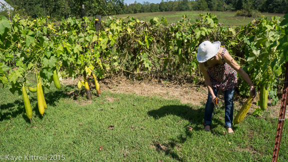 Files from the Road: Growing Loofah - Loofah vines