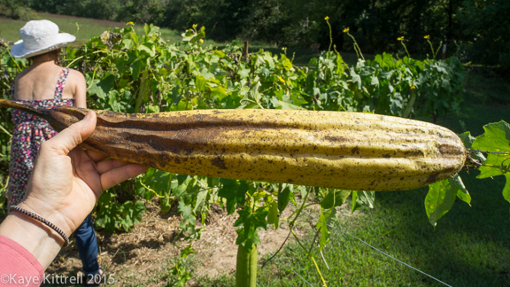 Files from the Road: Growing Loofah - Mature loofah sponge