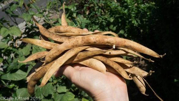 Supreme Scarlet Emperor Beans - 15 pods