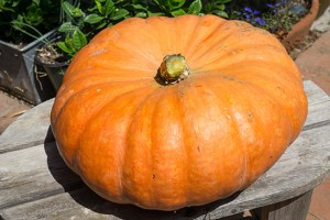 Growing Winter Squash – Spaghetti & Pumpkin