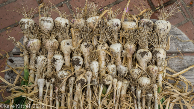 Growing Garlic - Here we go again! - 2015 harvest