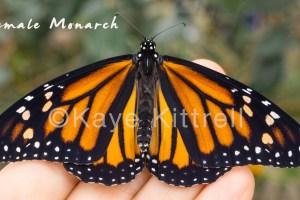 Magnificent Monarchs, Migration & Metamorphosis