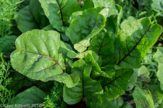 Greens too Pretty to Eat - beet tops