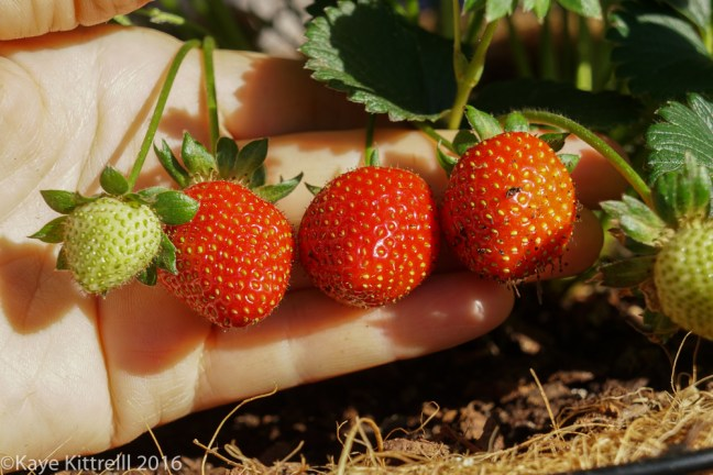 An hour a day keeps the doctor away - strawberries