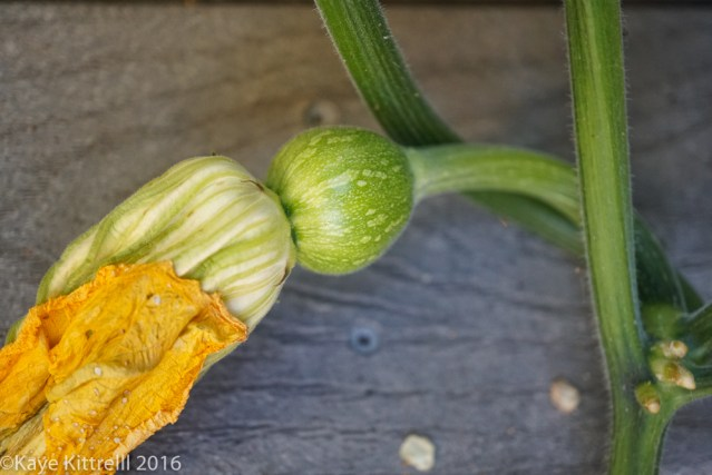 An hour a day keeps the doctor away - squash bloom