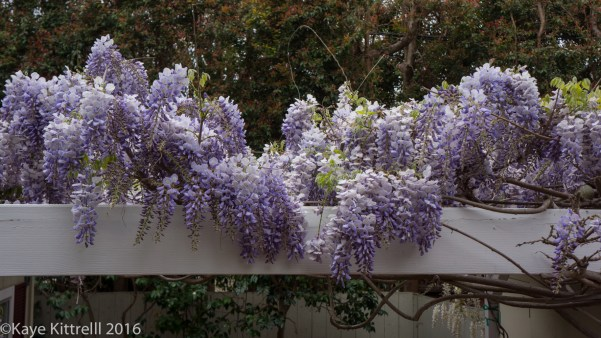 Growing Loofah, a Race to the Top - wisteria