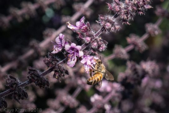 plant flowers, attract beneficial insects - basil