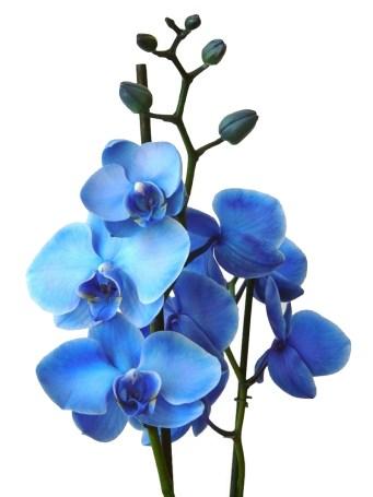 orchidée bleue2