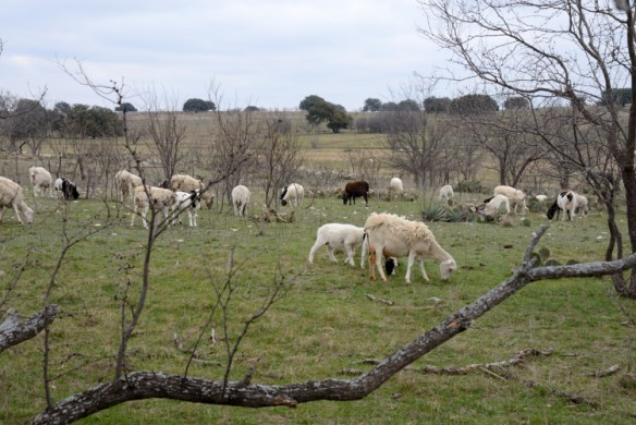 Sheep country in west-central Texas.