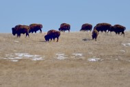 Bison on a ranch in northeastern Colorado.