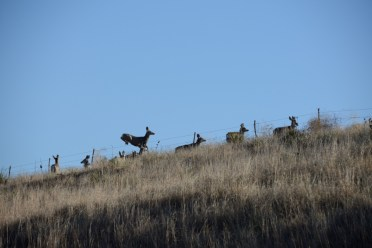 Mule deer jumping a fence in south central Nebraska.