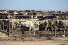 Cattle feedlot in Kansas