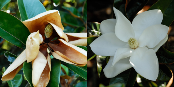 One magnolia fading after a full bloom, another magnolia opening to the day