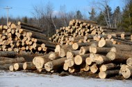 Veneer log yard in Maine