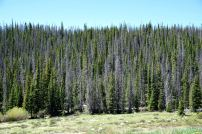 In the old West, trees were routinely harvested on the National Forests. Now they are not. Many die from insect attacks, as shown here. The Forest Service prefers to blame global warming, which it says produces increased insect populations. Critics prefer to blame passive forest management by the federal government, exposing over-stocked, stressed forests to insects ready to take advantage of weakened trees.