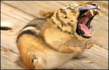 souris-tigre