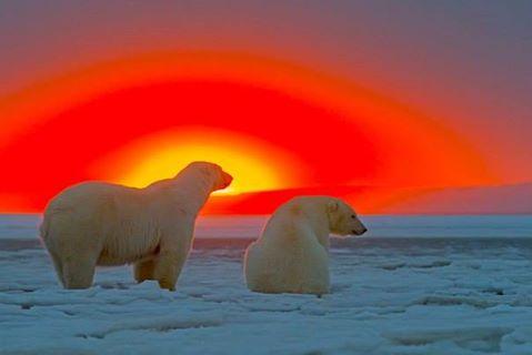 ours-blanc-coucher-de-soleil1