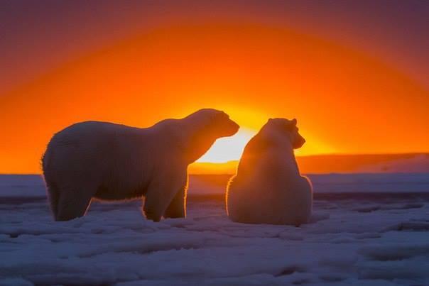 ours-blanc-coucher-de-soleil2