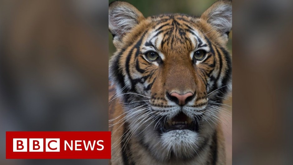 Coronavirus: Tiger at Bronx Zoo assessments optimistic for Covid-19 – BBC Information