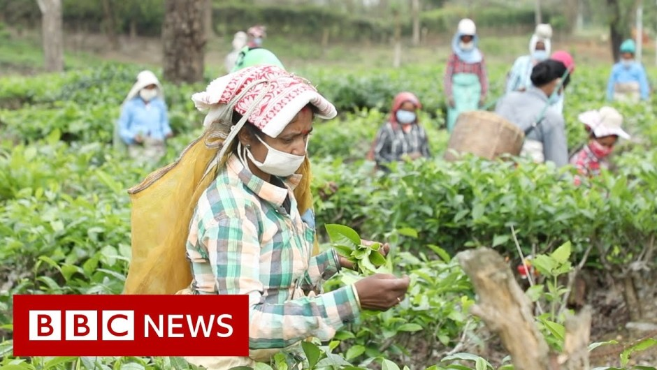 Coronavirus: The fears of India's tea staff in lockdown – BBC Information