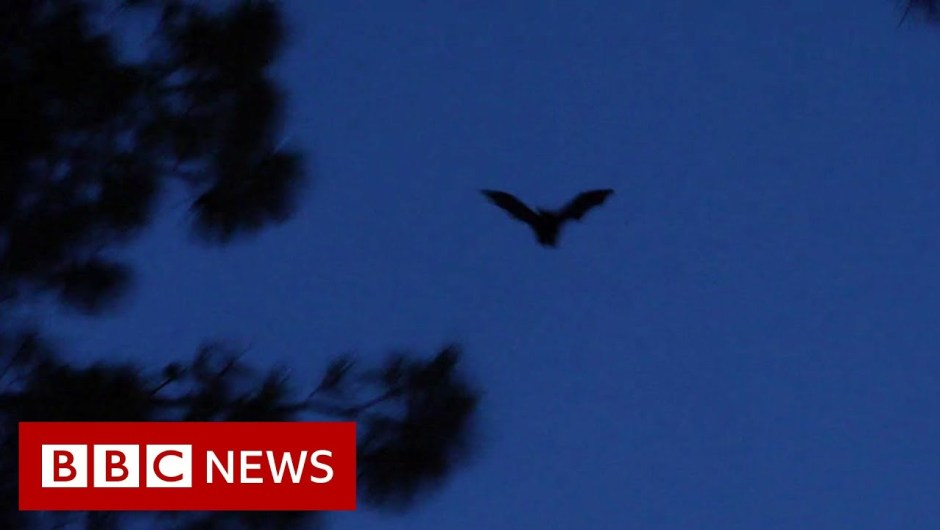 Bats, roadblocks and the origins of coronavirus – BBC Information
