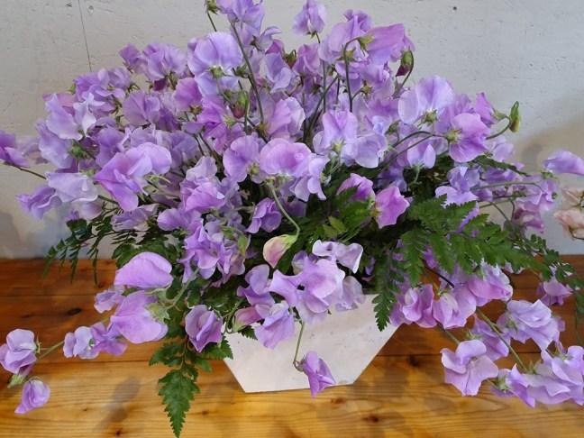 Prachtige lavendel kleurige Lathyrus odoratus