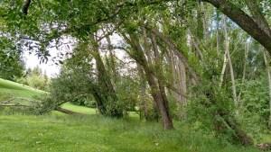 salix amyg - tree