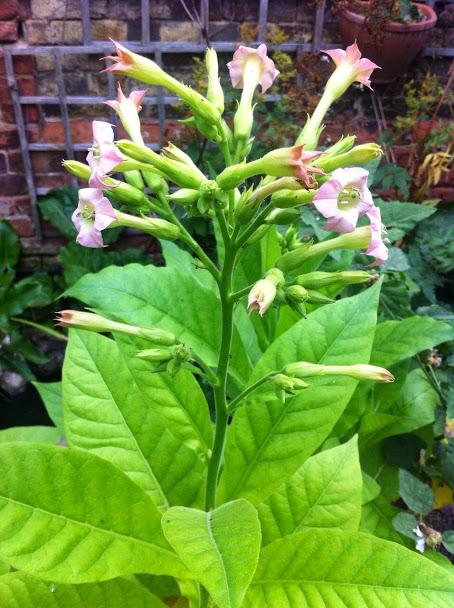On Tobacco – Latifa's Herbs