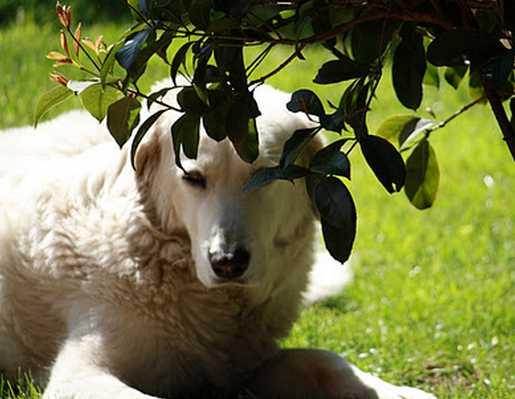 pastore-maremmano-latina-48657223