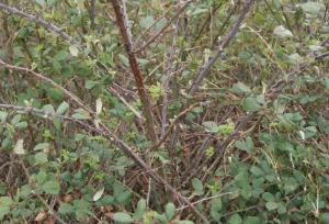 pianta-rovi-rovo-latina-24ore-676100