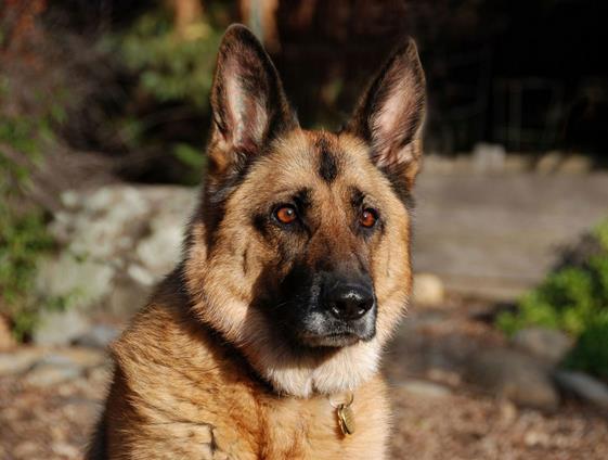 cane-pastore-tedesco-latina-24ore