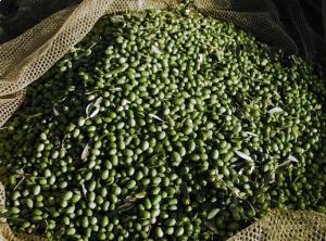 olive-latina-24ore