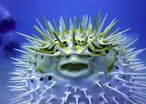 pesce-palla-latina-gaeta