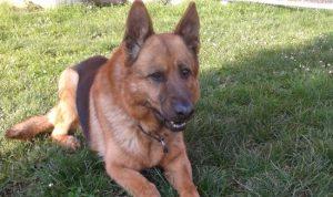 cane-poliziotto-Cristof