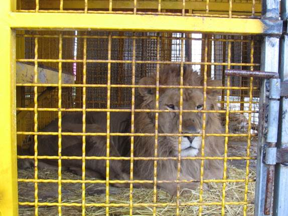 leone-circo