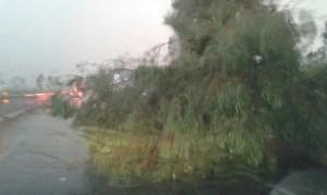 albero-caduto-pontina-latina-1