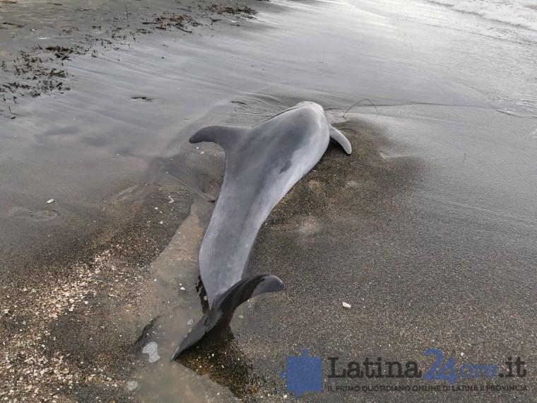 delfino-morto-latina-4
