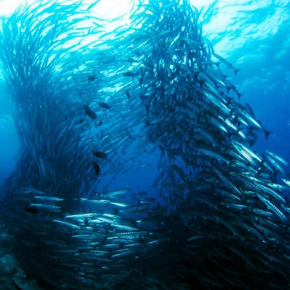 Sipadan barracuda vortex, Borneo Malaysia