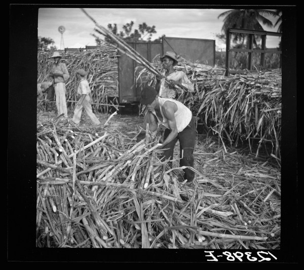 (Sugar cane being loaded onto a train for transportation to the refinery. Near Ponce, Puerto Rico. LIBRARY OF CONGRESS)