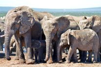 40 day tour. Elephants in South Africa