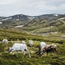 renne a Nordkapp-Christian Roth Christensen - VisitNorway