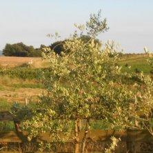 ulivi Tuscia