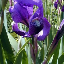 iris del parco