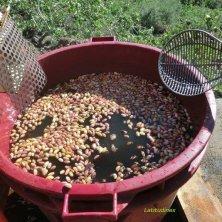 Prima fase di pulizia dei pistacchi appena raccolti