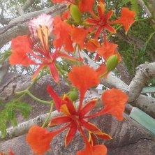 fiori albero fiamma