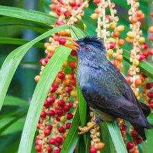 pappagallo nero delle Seychelles