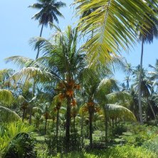 piantagione cocco