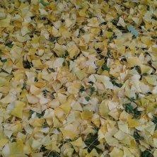tappeto di foglie gialle
